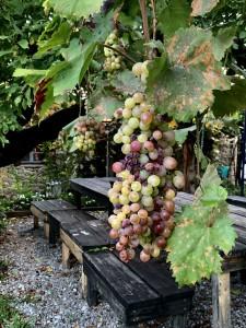いろんな色がつながっているブドウ お酢にもなります
